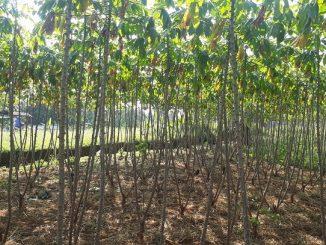 Ilustrasi kebun singkong