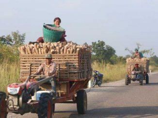 Singkong siap diolah di Kamboja (Ist)